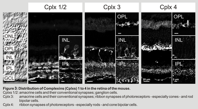 Figure 3: Distribution of Complexins (Cplxs) 1 to4 in the retina of the mouse