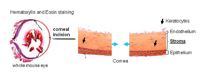 Image Mouse corneal wound healing model